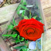1 Luxury Red Rose